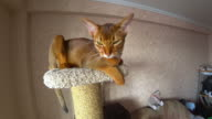 Abyssinian cat portrait video