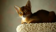 Abyssinian kitten video