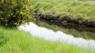 SERIES: Acacia(Mimosa) near a stream video