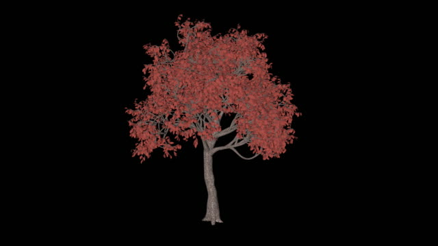 Acer Tree video