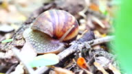Achatina fulica - Reunion Island video