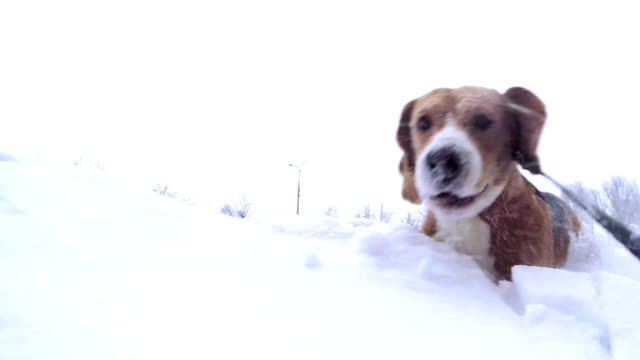 Active beagle puppy bury oneself into snowdrift slow motion video video