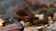 Adder and ant video