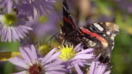 SLOW MOTION: Admiral Butterfly video