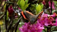 Admiral Falter - Red Admiral - Vanessa atalanta video