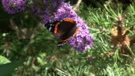 admiral on butterfly bush video