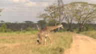 CLOSE UP: Adorable African giraffe in wilderness crossing dusty safari road video