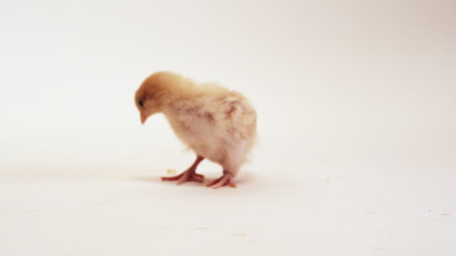 Adorable Baby Chick video