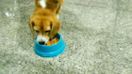 Adorable beagle waiting to eat barf food video