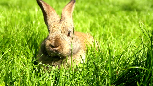 Adorable Bunny Rabbit Munching Grass HD video