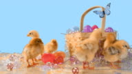 Adorable chicks around an Easter basket. video