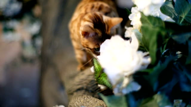 Adorable Gold Bengal Cat And Butterfly video