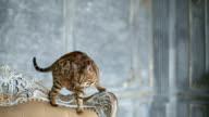 Adorable Gold Bengal Cat video