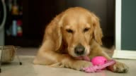 Adorable golden retriever dog laying on the floor and licking it's paw video