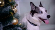 Adorable husky dog near New year tree, guards Christmas presents. Close up video