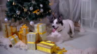Adorable husky dog near New year tree, guards Christmas presents video