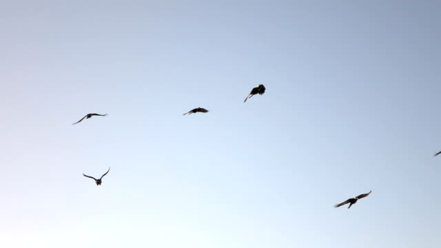 CLOSE UP: Adorable intelligent crows flying in big flock against purple sky video