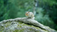 Adorable little chipmunk perched on a rock video