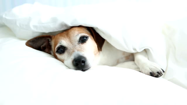 Adorable pup Jack Russell terrier Dozing on the white bed linens. video