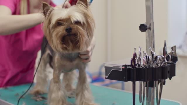 Adorable Puppy Having a Trim video