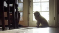 Adorable White haired puppy sits and waits by door video