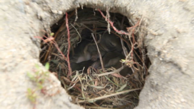 Adorable wild baby bunnies cuddling in a rabbit hole. Zoom-in. video
