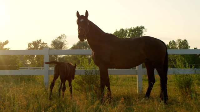 CLOSE UP: Adorable young foal and confident loving mother on pasture field video