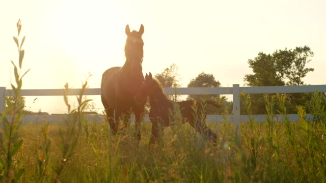 CLOSE UP: Adorable young foal and protective and loving mother on pasture field video