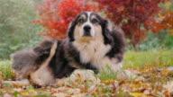 Adult Australian Shepherd lying in the yard in the fall. He looks up plaintively video