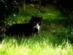 Adult Cat PAL video