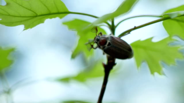 Adult Cockchafer (Melolontha melolontha) eating the green oak leaf 4k video