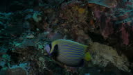 Adult Emperor angelfish in Indian Ocean video