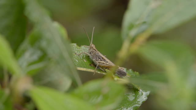 Adult Grasshopper Sitting And Jumping Off Grass In Slow Motion video