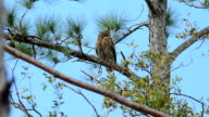 Adult Great-horned Owl in pine tree with hawk harrassing video
