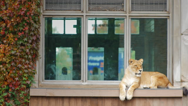 Adult lion sitting on the windowsill of an old building video