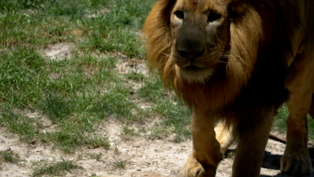 Adult male lion eating meat being tossed to him video