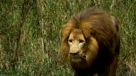 Adult male lion gets up and begins stalk video