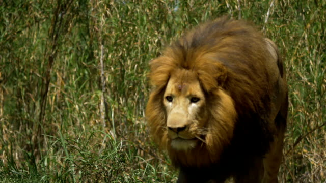 Adult male lion gets up and begins stalk video
