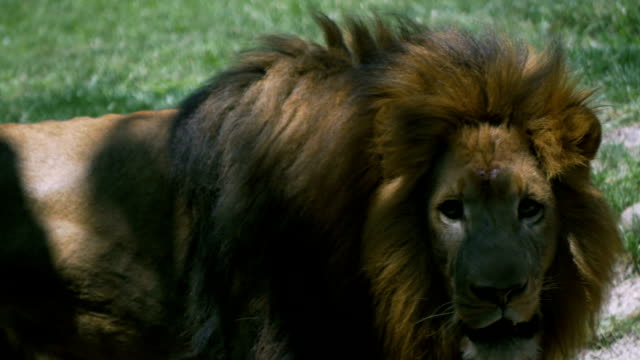 Adult male lion with large mane pacing back and forth video