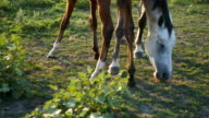 Adult mare and young pony grazing on the meadow. Horses are walking and eating green grass in the field. Close up video
