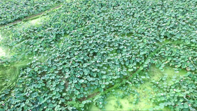 Aeral view of lotus field in Guangchang county in Fuzhou city video