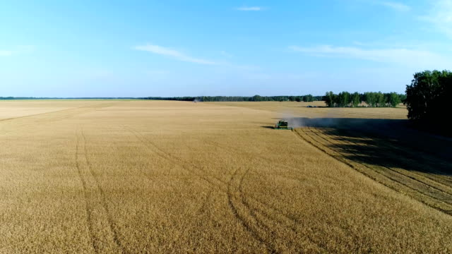 Aerial: A combine harvests a harvest on a yellow wheat field next to the forest. video