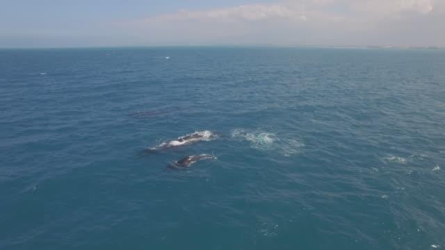 4K Aerial Drone Maui, Hawaii, Whales baby breach video