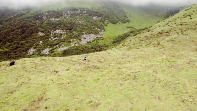 aerial flight above caucasian trail runner running to mountain through pasture grazing with cow.wild green nature outdoors. 4k drone side wide follow video video