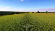 Aerial flight over corn field video