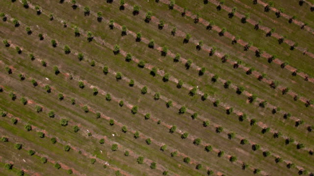 Aerial: flight over olive tree plantation, vertical view video