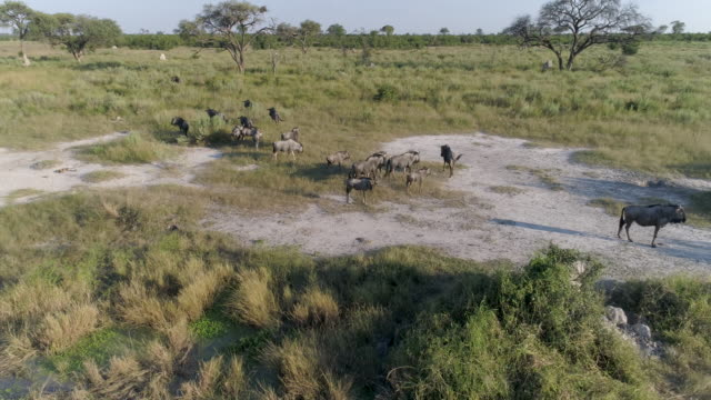 Aerial fly over view of a small group of wildebeest in the grasslands of the Okavango Delta video