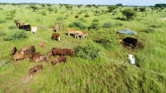 Aerial fly over view of free range pigs and free range cattle video