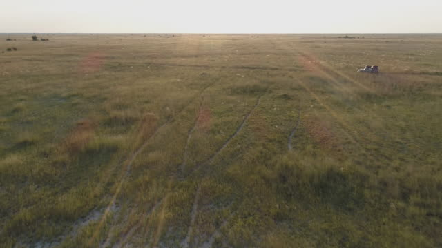 Aerial fly over view of safari vehicle driving through the grasslands of Botswana video