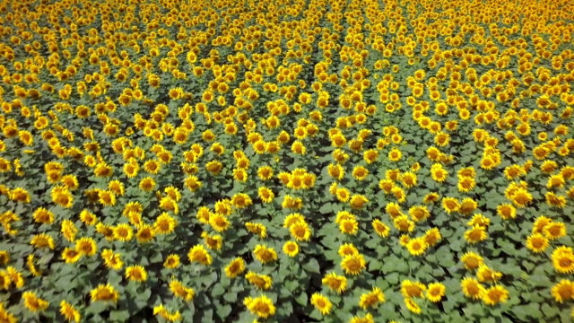 Aerial footage of sunflowers field by day video
